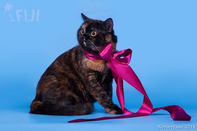 питомник шотландских вислоухих кошек Фиджи в Воронеже